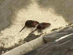 千里川でカピバラ発見!