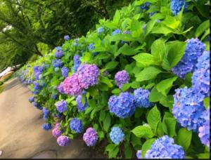 🌸紫陽花🌸がきれいな時期ですね☆彡